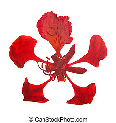 Delonix regia - Single flower of Delonix regia isolated