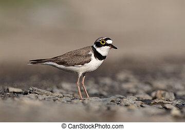 Little-ringed plover, Charadrius dubius, single bird...