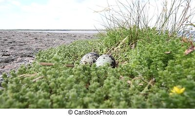 Arctic tern Sterna paradisaea - nest of Arctic tern with...