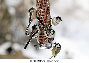 Long-tailed tit, Aegithalos caudatus, group of birds on...