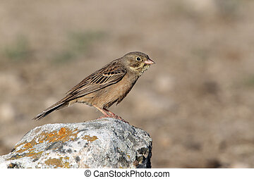 Ortolan bunting, Emberiza hortulana, single female perched...
