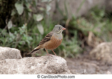 Ortolan bunting, Emberiza hortulana, single male perched on...