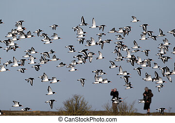 Oystercatcher, Haematopus ostralegus, large flock in flight...