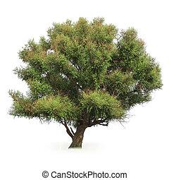 big poplar tree - a big poplar tree with white background