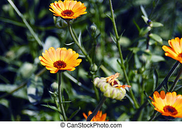 Summer blossoming of calendula (marigold) flowers