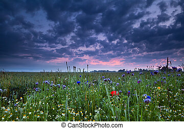 sunrise over field with wildflowers - summer sunrise over...