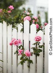 Rose bush over white picket fence. - Rose bush growing over...