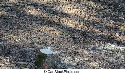 stump logs forest cut - panoramic view of the cut stump to...