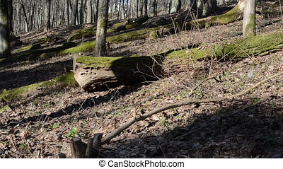 forest panorama old trees