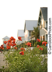 Red poppy flowers by houses.