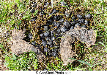 Earth-boring dung beetle insect