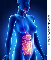 Female STOMACH and Intestine x-ray lateral view - Female...