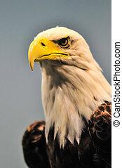 norte, norteamericano, calvo, águila, perfil