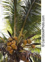 coco, árvore, cheio, cocos