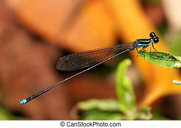 Blue Ringtail - Close up of a blue ringtail damselfly on...