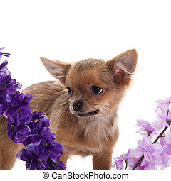 chihuahua dog with flowers on white background