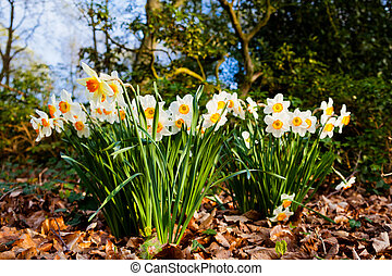 narcissus flowers.  - narcissus flowers.