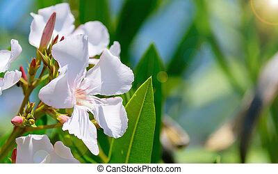 oleander - white oleander with pink stripes