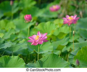 Charming lotus bloom in the pond