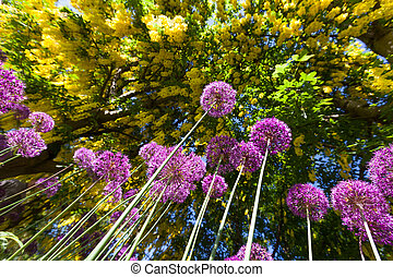 alium onion flower - Purple alium onion flower and Golden...