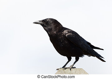 Crow with white background