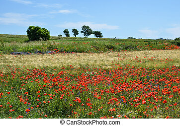 Grain field with poppies - Summer view at a grain field with...