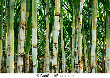 Small sugar cane - Sugar cane after plant for six month more