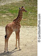 Giraffe calve - A giraffe calve at The zoo.