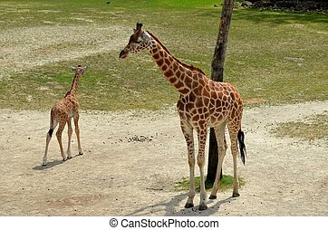 Giraffe and calve - A giraffe with calve at the zoo