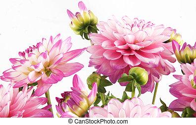 blossoms - Blossoms of rose dahlia