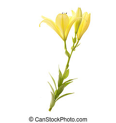 fresh yellow lily isolated on white background