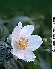 Jasmine flower after rain
