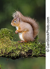 Red squirrel, Sciurus vulgaris, single animal on moss...