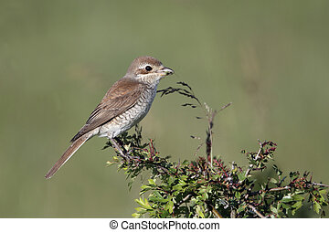 Red-backed shrike, Lanius collurio, single female perched on...