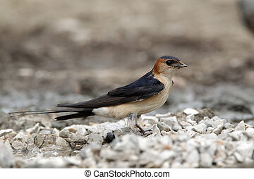 Red-rumped swallow, Hirundo daurica, single bird collecting...