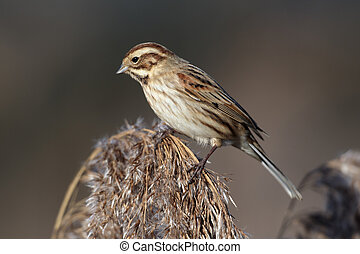 Reed bunting, Emberiza schoeniclus, single bird on reeds,...