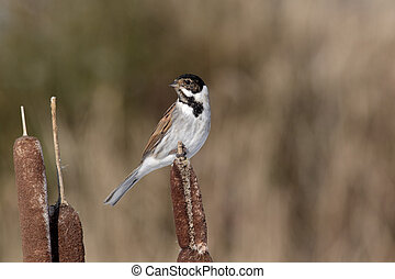 Reed bunting, Emberiza schoeniclus, single male on bullrush,...