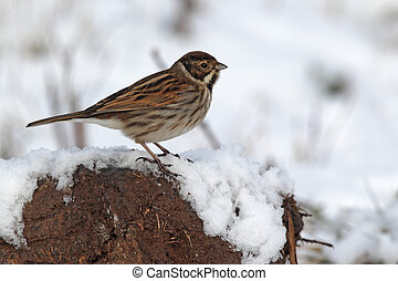 Reed bunting, Emberiza schoeniclus, single male on snow,...