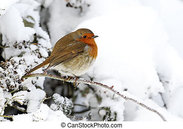 Robin, Erithacus rubecula, single bird in snow, West...