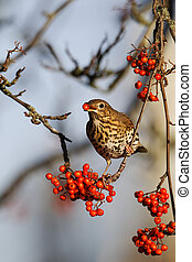Song thrush, Turdus philomelos, single bird on rowan...