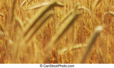 yellow field with ripe wheat - change of focus