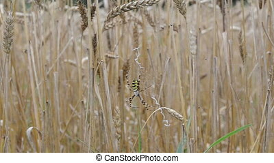 wasp spider wheat ear - wasp spider argiope bruennichi...