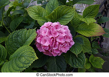 hydrangea flowers with green leaves