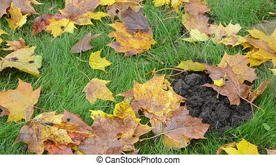 rake leaves mole hill - closeup of autumn tree leaves rake...
