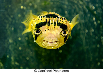 Porcupine fish is photographed underwater