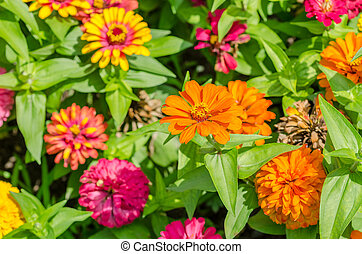 Zinnia Elegans Flowers Garden Close Up