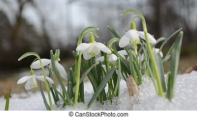 spring snowflake snow - first spring snowdrop flower in snow...