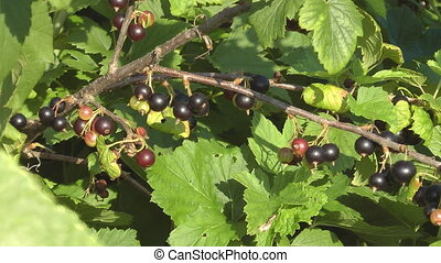 Blackcurrant. - Blackcurrant bushes with berries closeup.