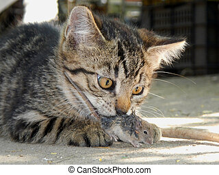 A kitten and a mouse - A young domestic cat caught a mouse