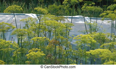 Fennel. - HD 1080 close up shot of dill sway in the wind.
